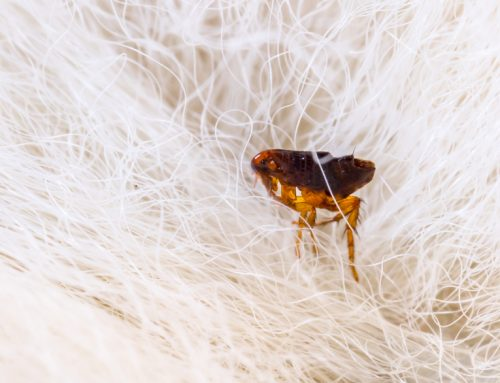 Make Year-Round Flea and Tick Prevention a Priority for Your Pet